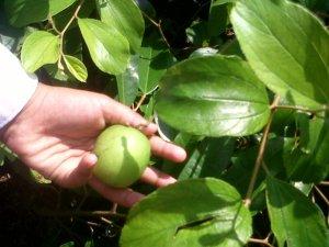 buah putsaku