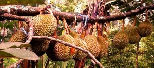 Durian Ngruntel2