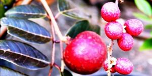 ruby longan7