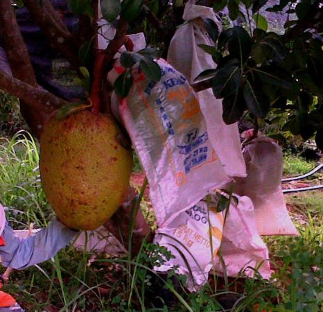 Bibit Nangka Sri Bajong 2