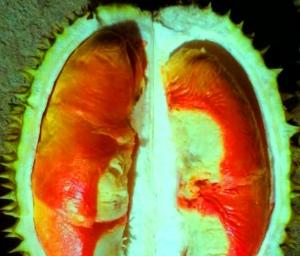 Durian Pelangi3