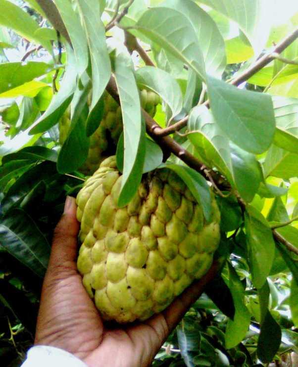 buah Srikaya Jumbo