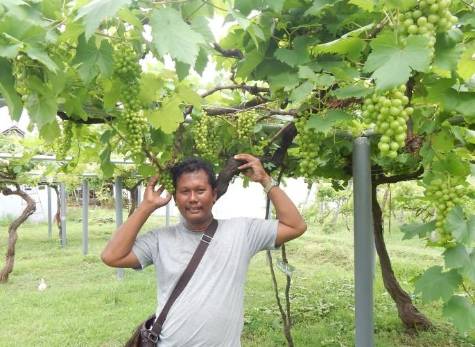 bibit anggur