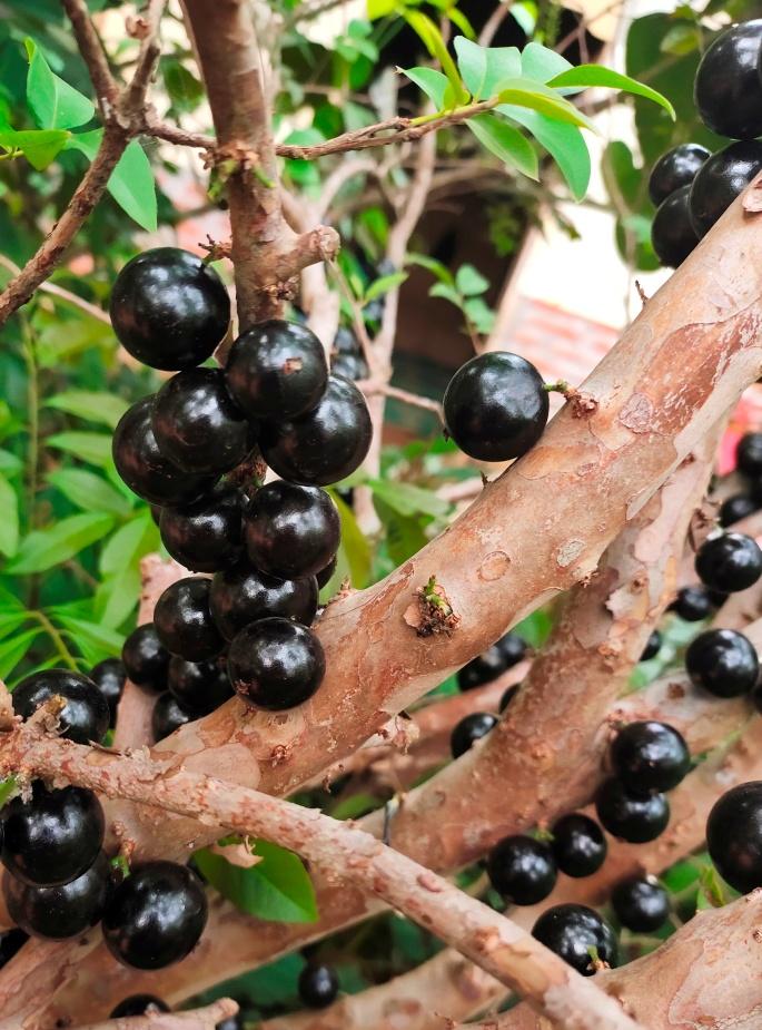 Buah Anggur Pohon Jaboticaba